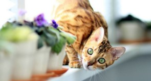 Quali sono i gatti più costosi del mondo?